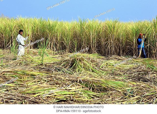 Farmers harvesting sugarcane crops sacchrum officinarum ; Jabalpur ; Madhya Pradesh ; India