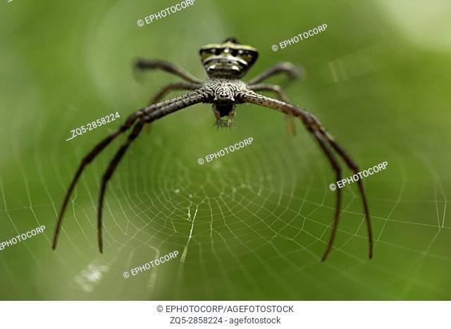 Signature spider, Argiope sp, Goa, INDIA. Spiders of genus Argiope are often found in gardens. The genus acquires the name from Greek language