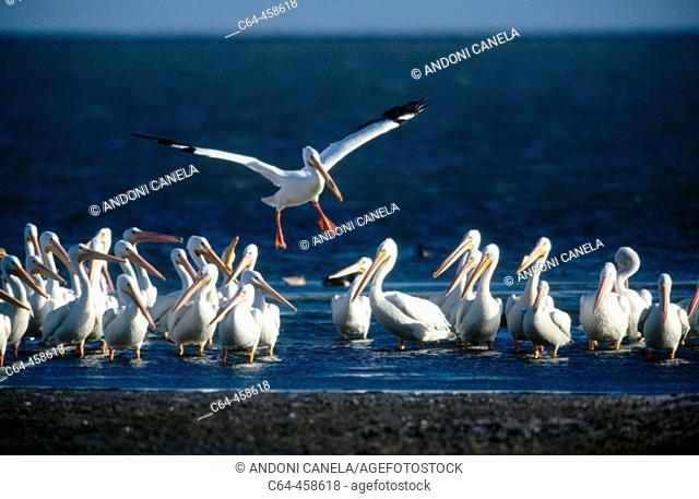 White Pelican (Pelecanus erythrorhynchos). Baja California, Mexico