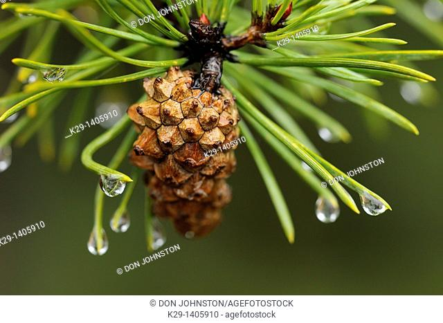 Jack pine bough and cone with rain drops