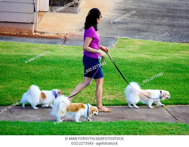 woman walking dogs - three Papillons, in Hawai'i