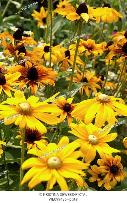 A group of different annual Rudbeckia flowers