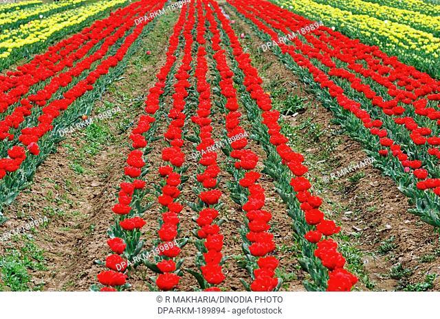 Indira Gandhi Memorial Tulip Gardens srinagar jammu and kashmir India Asia