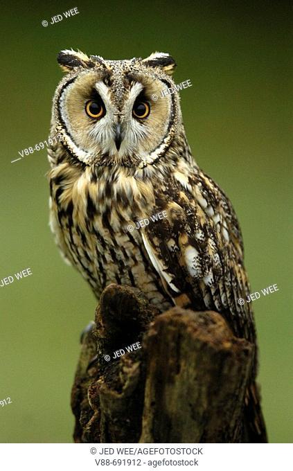 Long-eared owl (Asio otus) at the World Owl Trust, Muncaster Castle, Cumbria, England. UK