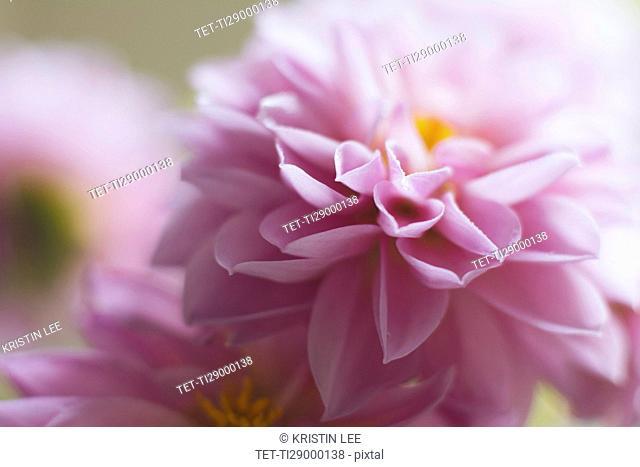Studio shot of pink dahlia in selective focus