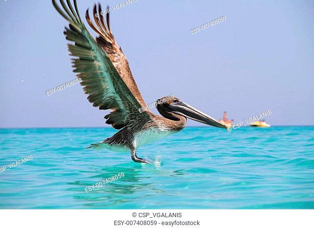 Pelican in the sea