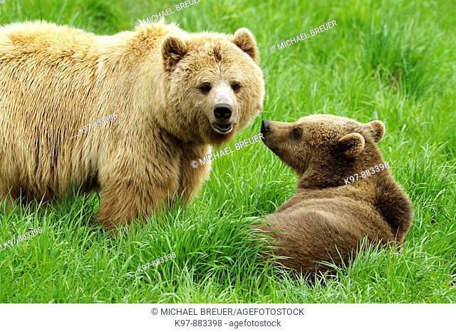European brown bears, Bavaria, Germany