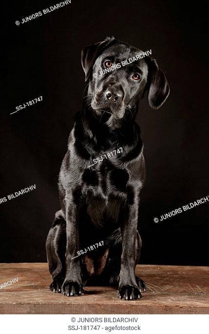 Labrador Retriever. Black adult sitting, seen head-on. Studio picture against a black blackground
