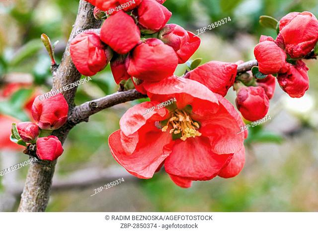 """Flowering quince Chaenomeles superba """"""""Red trail"""""""" in a garden"""