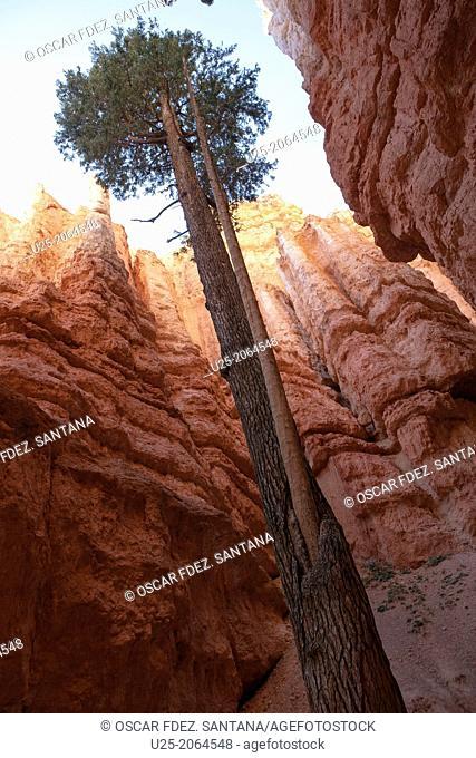 Navajo Loop Trail, Bryce Canyon National Park, Bryce Canyon City, Utah, USA