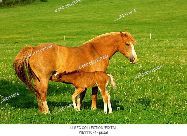 Hanoverian mare with suckling foal in a paddock