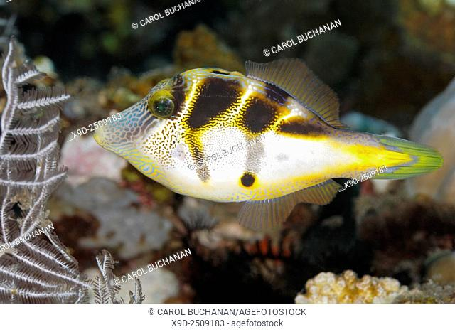 Mimic Filefish, Paraluteres prionurus. These fish mimic the Black-Saddled Toby, Canthigaster valentini. Tulamben, Bali, Indonesia