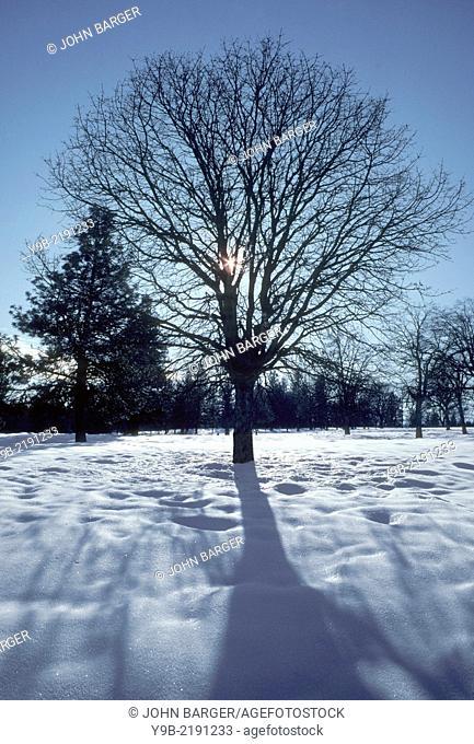 Winter sun silhouettes Oregon white oak (Quercus garryana) and ponderosa pine (Pinus ponderosa) above snowy ground, White River Wildlife Area