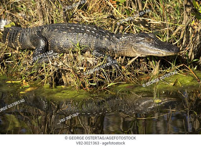 American alligator (Alligator mississippiensis), Merritt Island National Wildlife Refuge, Florida
