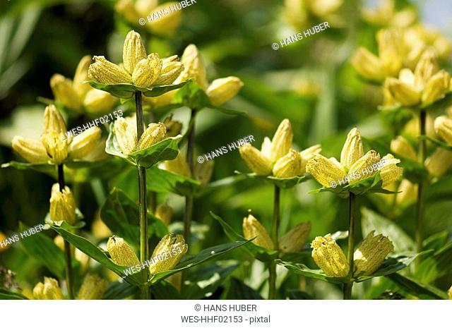 Great Yellow Gentian flowers Gentiana lutea