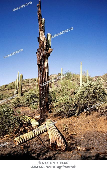 Saguaro Cactus (Cereus giganticus), dying from bacterial infection, Arizona