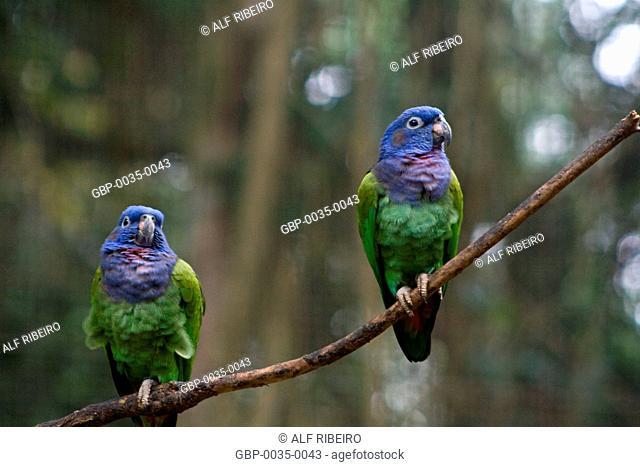 Blue-headed parrot; Pionus menstruus; Foz do Iguaçu; Paraná; Foz do Iguaçu; Brazil
