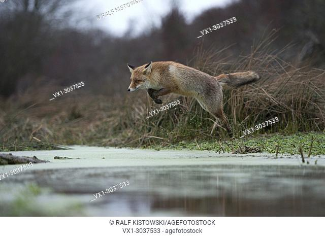 Red Fox / Rotfuchs ( Vulpes vulpes ), adult in winterfur, jumping over a little creek in a swamp, far and high jump, in motion, wildife, Europe