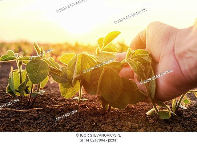 Farmer examining young corn crop