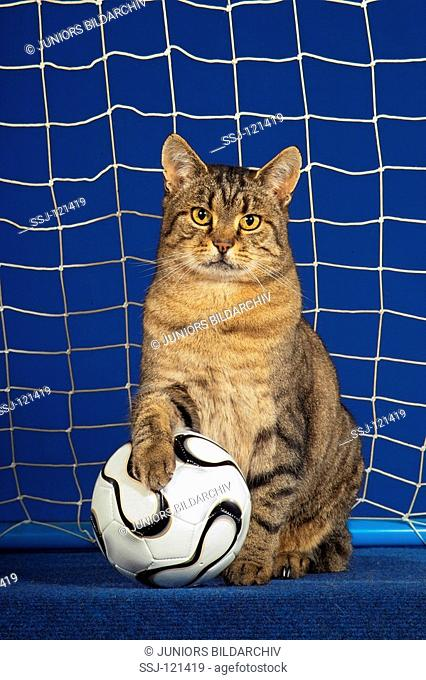 domestic cat with ball - sitting in goal