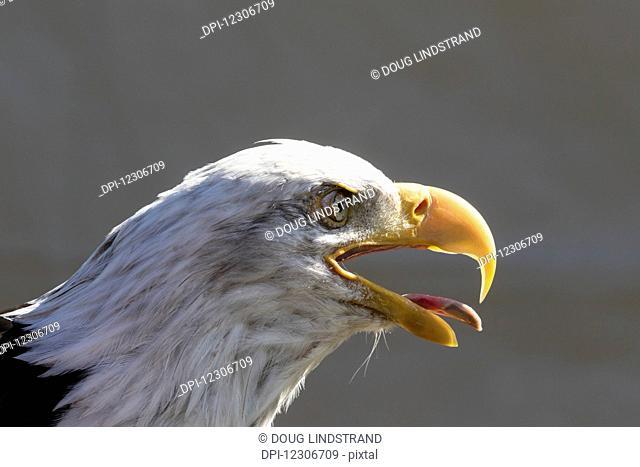 Mature bald eagle (Haliaeetus leucocephalus), captive; Alaska, United States of America