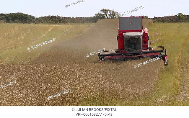 Red combine harvester cutting a row of rape seed - long shot - head on