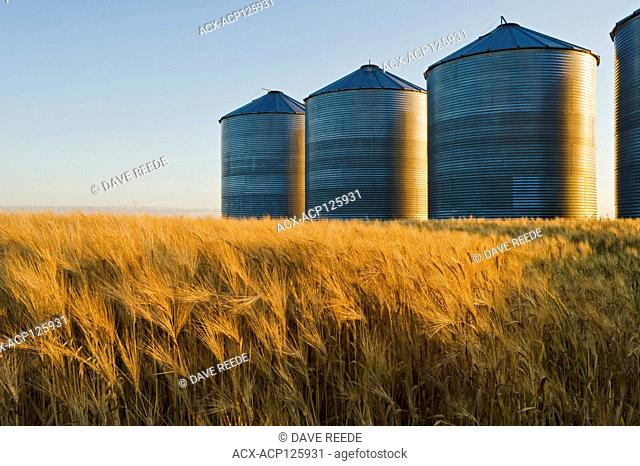 a maturing barley field with grain storage bins/silos in the background, near Carey, Manitoba, Canada