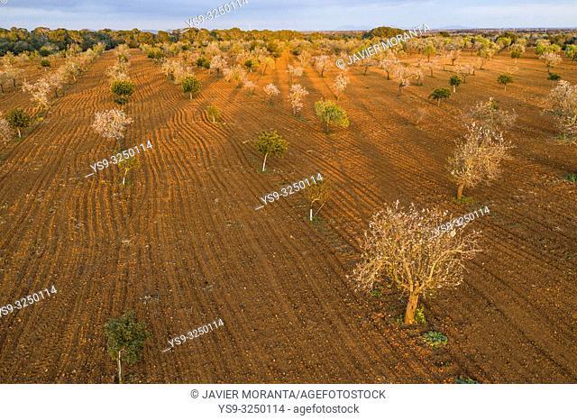 Aerial photo of almond blossoms, Spain, Balearic Islands, Mallorca, Llucmajor