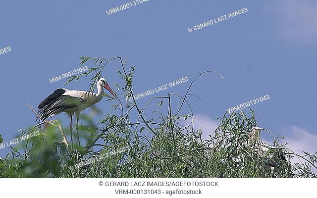 White Stork, ciconia ciconia, Adult in Flight, Alsace in France, Slow Motion