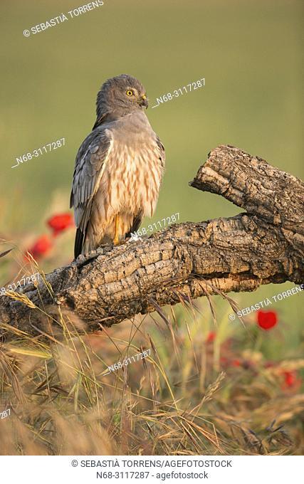 Montagu's harrier (Circus pygargus) on a branch, Montgai, Lleida, Spain