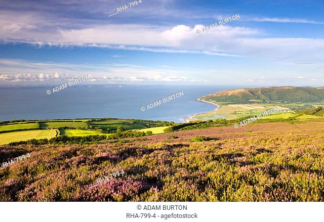 Flowering heather on Porlock Common, overlooking Bossington Bay and the Bristol Channel, Exmoor National Park, Somerset, England, United Kingdom, Europe