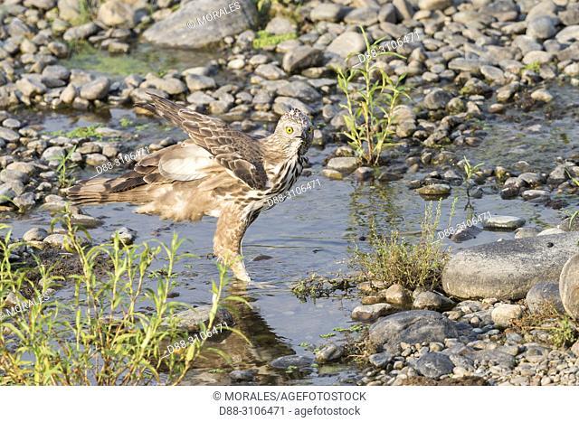 Asia, India, Uttarakhand, Jim Corbett National Park, Changeable hawk-eagle or crested hawk-eagle (Nisaetus cirrhatus), drinking