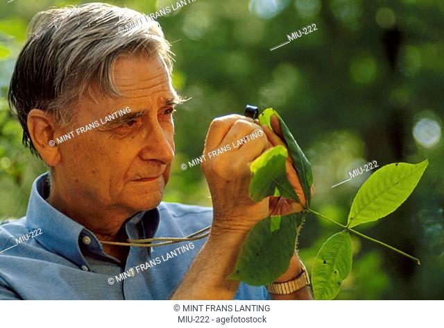 An ecologist examining plant gall, Walden Pond, Massachusetts, USA