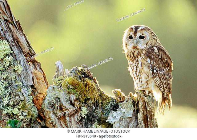 Tawny olw (Strix aluco). Adult perched on alder in early morning sun. Scotland. UK