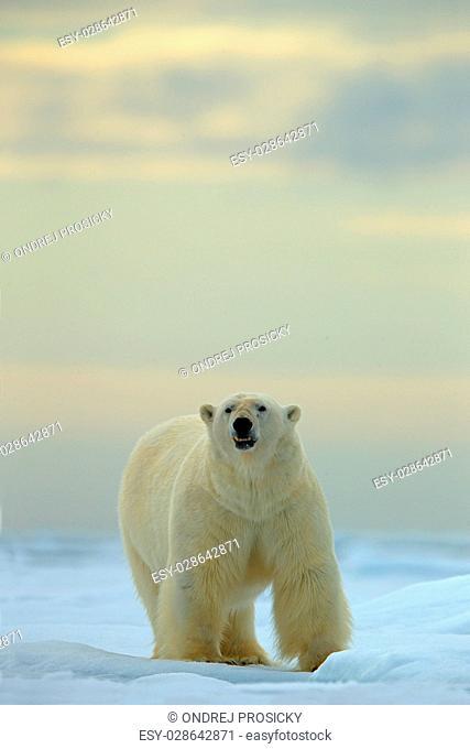 Big polar bear on drift ice with snow in Arctic Svalbard