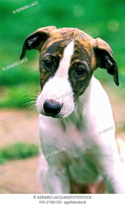 Greyhound Dog, Pup
