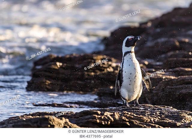 African penguin (Speniscus demersus) shaking water from feathers, Diaz, Lüderitz Peninsula, Karas Region, Namibia