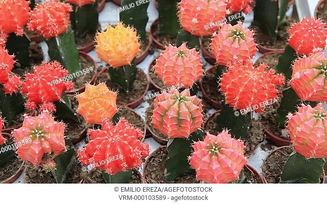 Grafted cactus. Garden Center. Cambrils, Tarragona, Catalonia, Spain