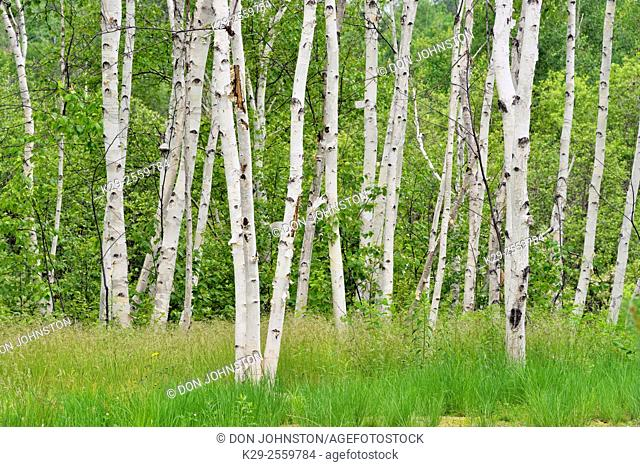 White birch tree trunks, Greater Sudbury, Ontario, Canada