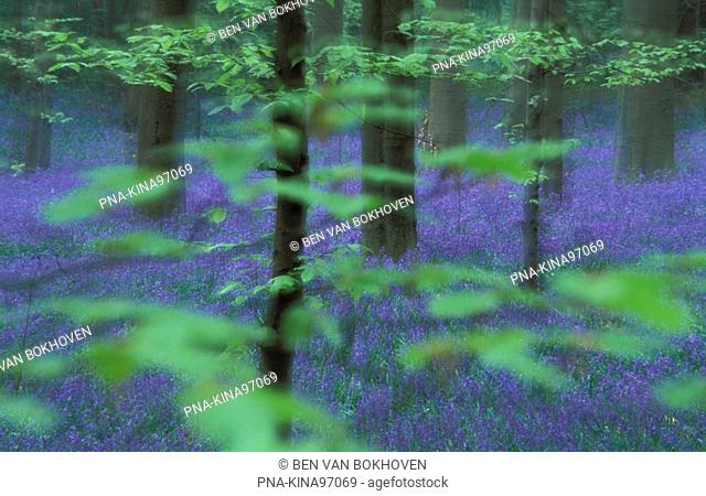 Bluebell Endymion non-scriptus - Hyacintoides non-scripta - Hallerbos, Halle, Flemish Brabant, Flanders, Belgium, Europe