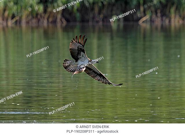 Western osprey (Pandion haliaetus) catching fish from lake with its talons (sequence 3 of 3)