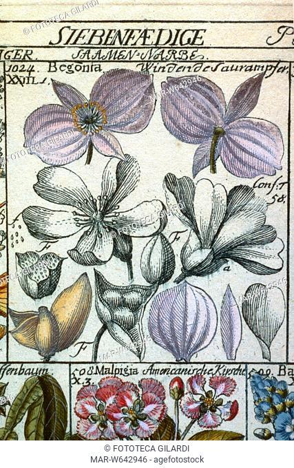 ERBARI Begonia (Begonia) Classis VII, Heptandria, trigynia, tav. 26. Da: ?Tabulae phytographicae? di Johannes Gessner (1709-1790) medico, botanico