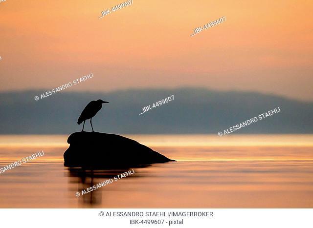 Grey Heron (Ardea cinerea) on a rock, sunset, silhouette, Lake Neuchâtel, Switzerland