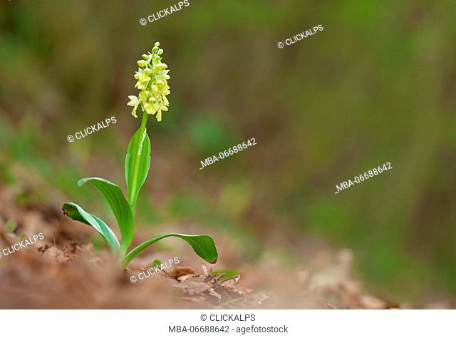 Orchis pallens, Caprieto, Liguria, Genoa, Italy