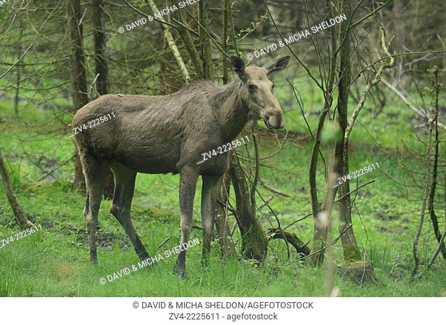 Eurasian elk (Alces alces) in a forest in early summer