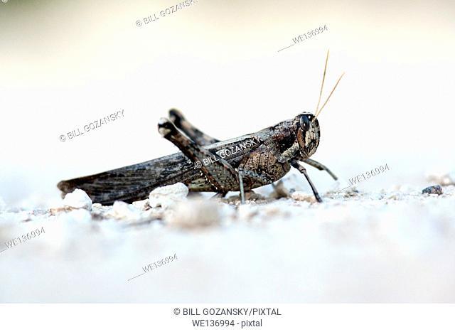 Texas Grasshopper Species - Camp Lula Sams, Brownsville, Texas, USA