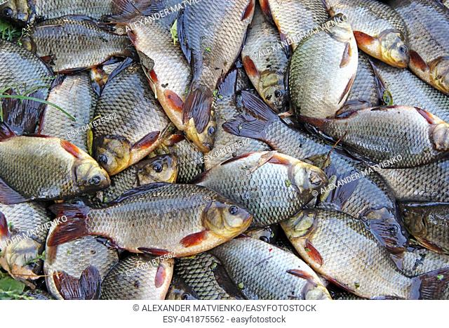 Caught crucians on green grass. Successful fishing. A lot of crucian carp. Freshly caught river fish. Caught fishes after lucky fishing