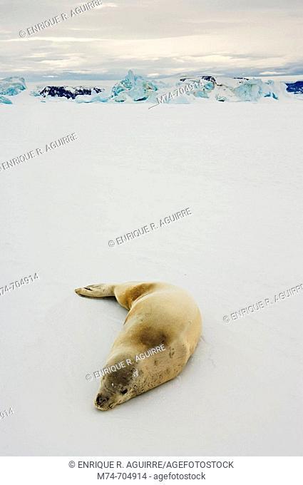 Crabeater seal Lobodon carcinophagus, Weddell Sea, Antarctica