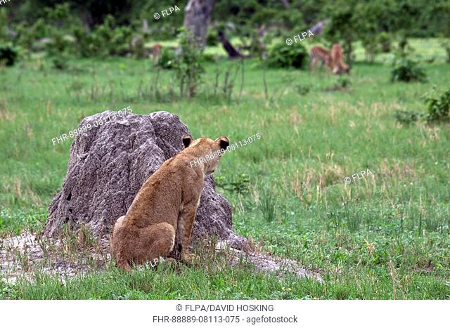 Female lion watches impala herd from the cover of a termite hill