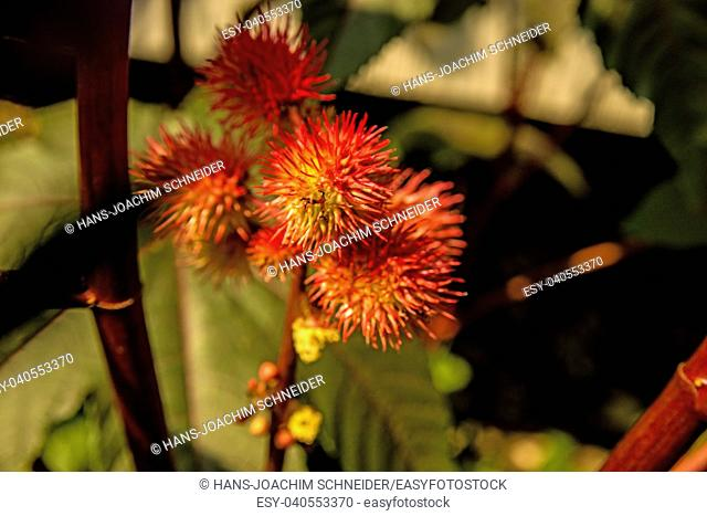 Castor-oil plant with flower in Germany